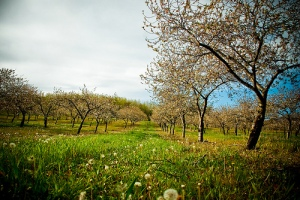 Michigan Cherry Orchard